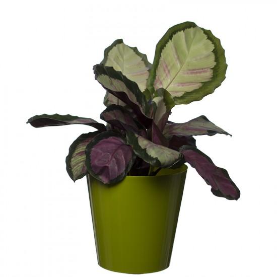 Lime  Aga Flower Pot