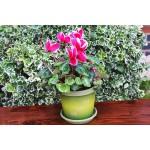 Olive Tree Keramo Flower Pot