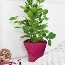 Flower Pots Twister Amaranth