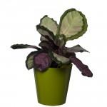 10 Pack-Lime Aga Flower Pot